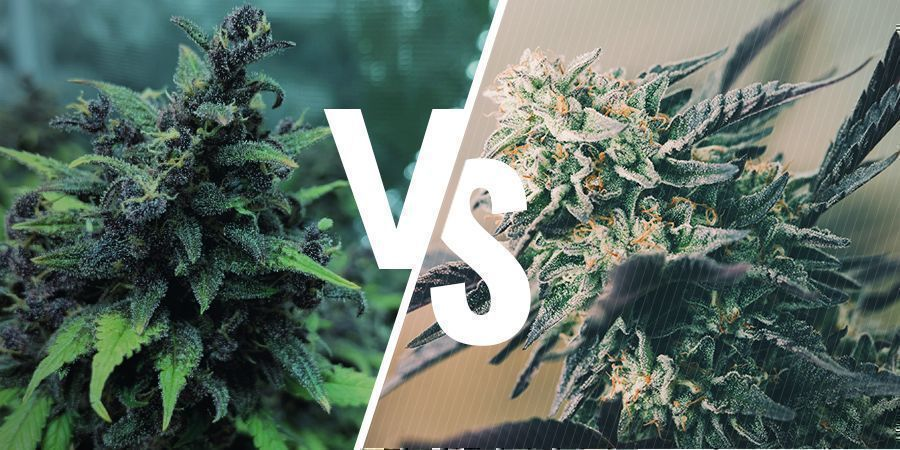 the Difference Between Feminized, Autoflowering, and Regular Seeds