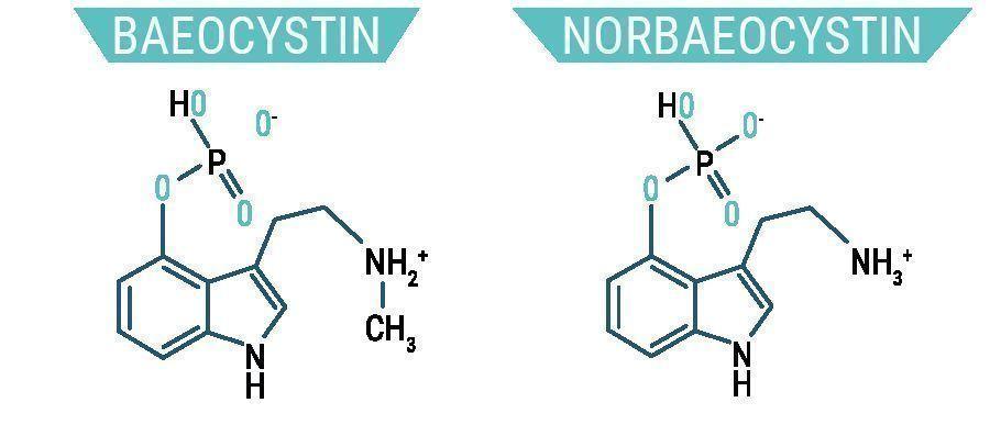 Baeocystin & Norbaeocystin
