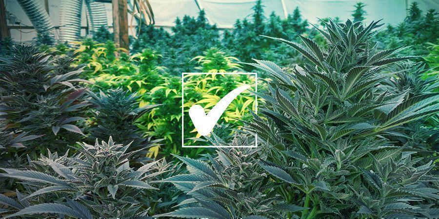Reguläre Cannabissamen: Die Vorteile