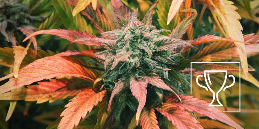 Zamnesia Seeds - Amnesia Haze: Multiple Cannabis Cup winner