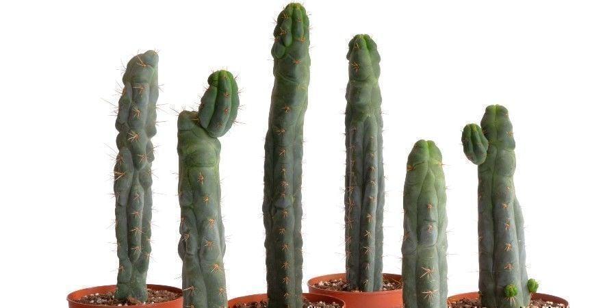 Echinopsis ''zamnesiana''