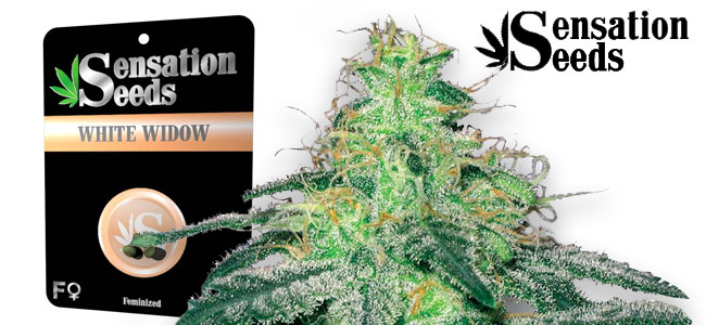 White Widow Sensation