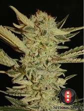 Bubble Gum Serious Seeds