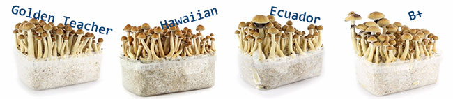 Magic Mushroom Growkits
