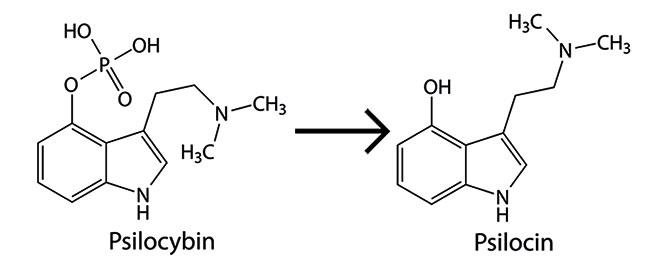 Psilocybin becomes psilocin