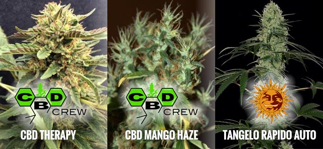 Strains High In CBD And Low In THC
