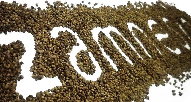 Migliore seme di cannabis