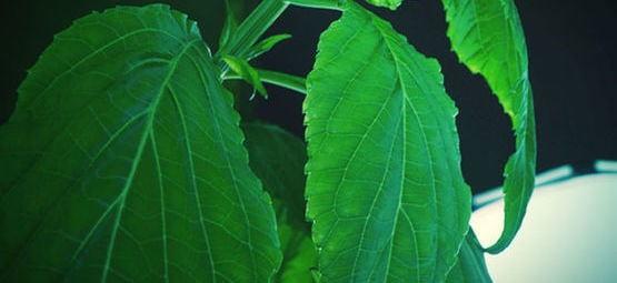 Salvia: Everything You Need To Know
