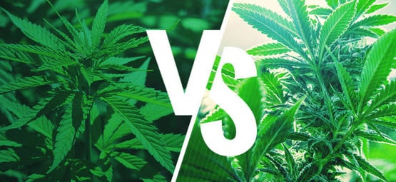 Sativa vs. Indica: Effects