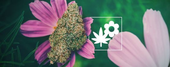 What Is Companion Planting And Why It Is Important for Growing Cannabis