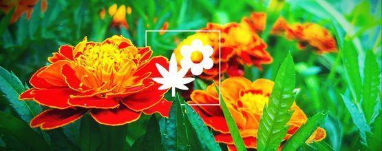 Cannabis Companion Planting: Marigold