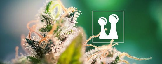 Everything You Need To Know About Trichomes