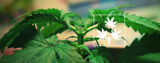 Topping Cannabis: Everything You Need To Know
