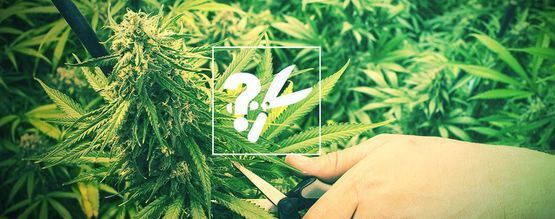 When And How To Harvest And Dry Cannabis