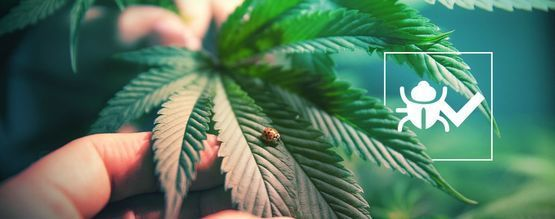 Insects That Will Help Cannabis Grow Better