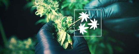 Cannabis Defoliation: Everything You Need To Know