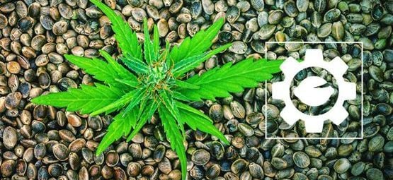 What Are Autoflowering Cannabis Seeds?