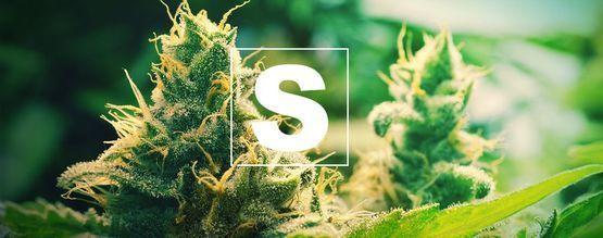Sulphur And Cannabis Plants