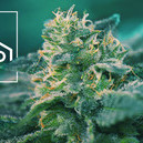 What Are CBD-Rich Cannabis Strains?
