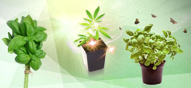 Cannabis Companion Planting: Basil