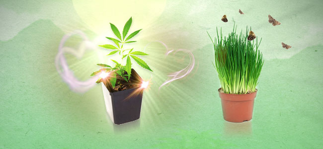 Chives and cannabis