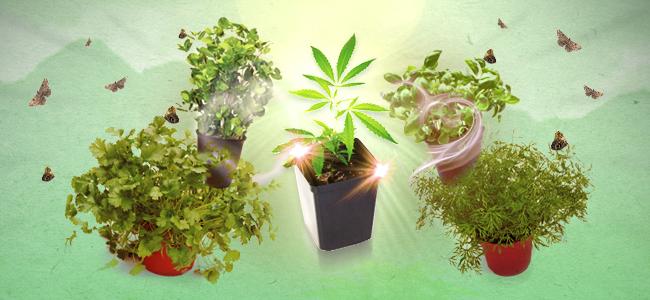 Beipflanzung Cannabis