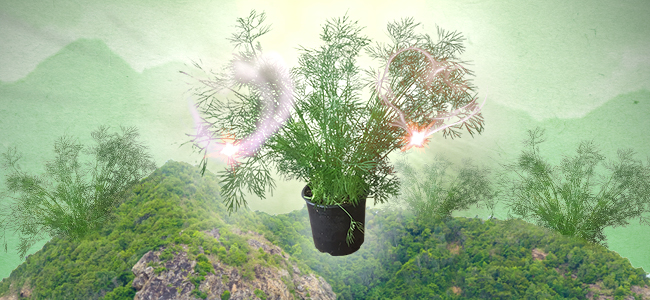 DILL: PERFECT FOR CANNABIS COMPANION PLANTING