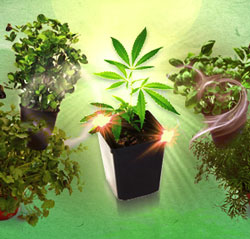 Companion plants cannabis