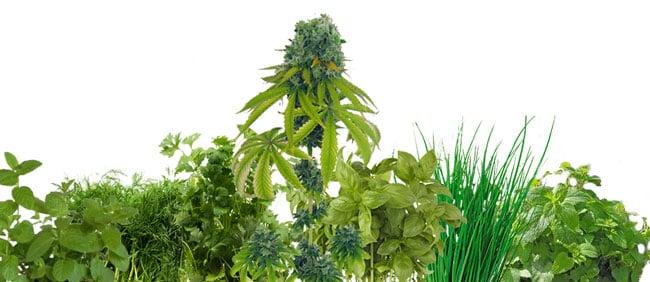 Cannabis companion plants