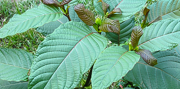 Where To Buy Kratom Leaves
