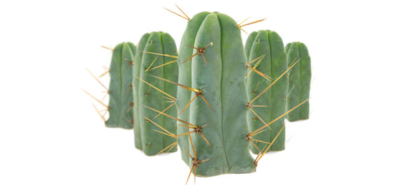 Cactus of the four winds
