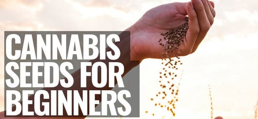 Cannabis Seeds For Beginners | How To Choose The Right One