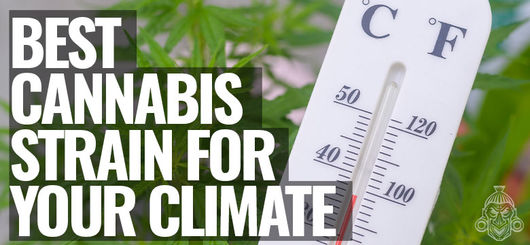 Best Cannabis Strain For Your Climate | Cold, Temperate & Hot