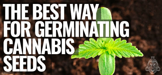 The BEST Way For Germinating Cannabis Seeds