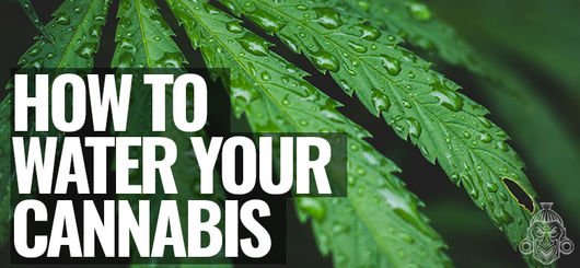 How To Water Your Cannabis Plants