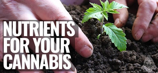 Nutrients For Your Cannabis Plants