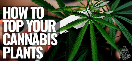 How To Top Your Cannabis Plants