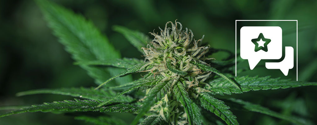 Strain Review: Sensi Skunk