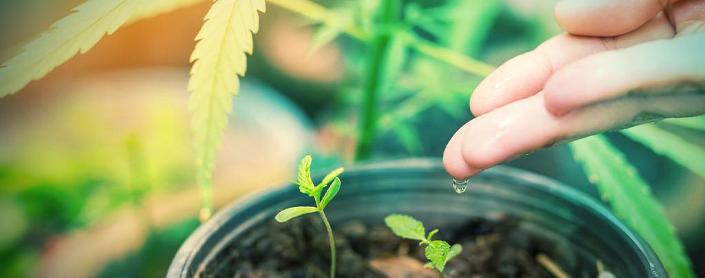 Qual è l'acqua migliore per le Piante di Cannabis?