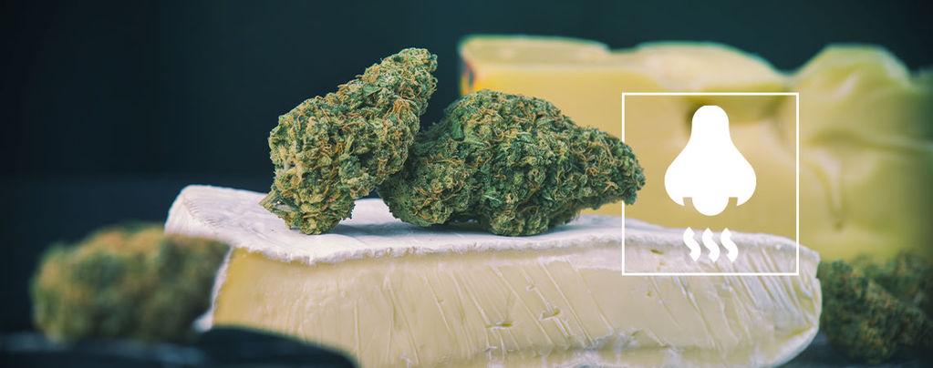 Varietà Cheese: Cosa si Nasconde Dietro il Loro Odore?