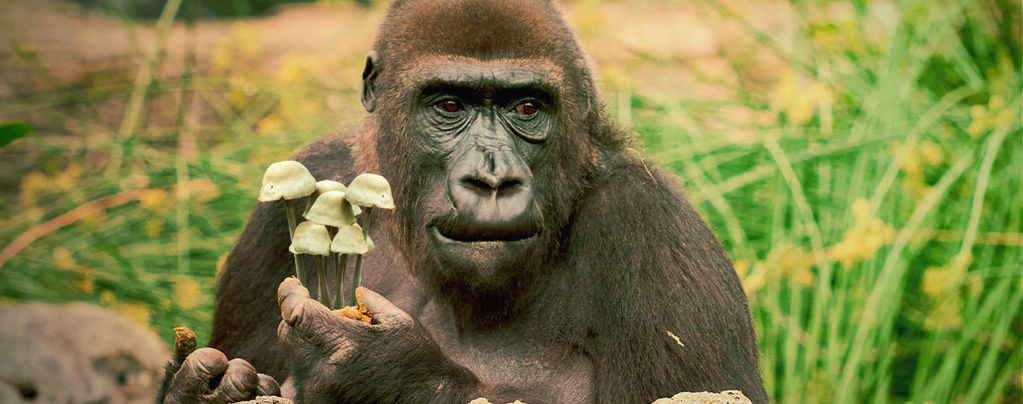 The Stoned Ape Theory of Human Evolution