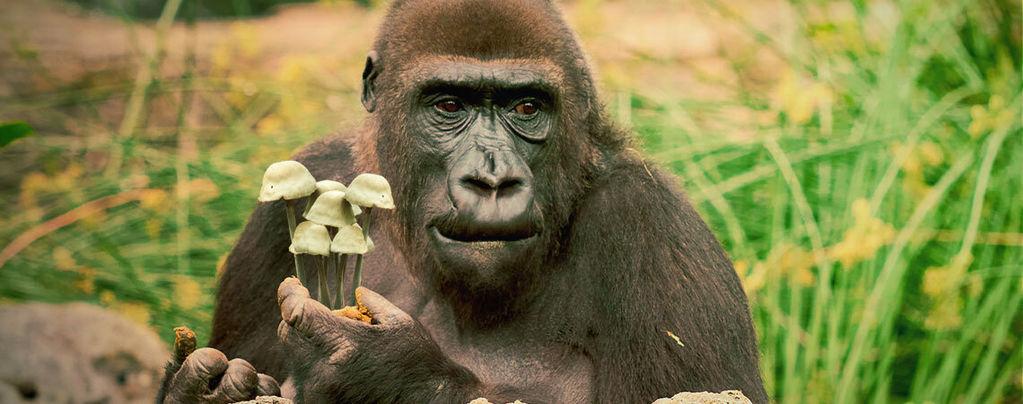 Die Theorie vom berauschten Affen und der menschlichen Evolution