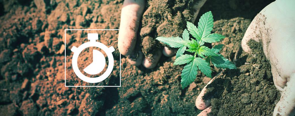 Time to Grow Cannabis