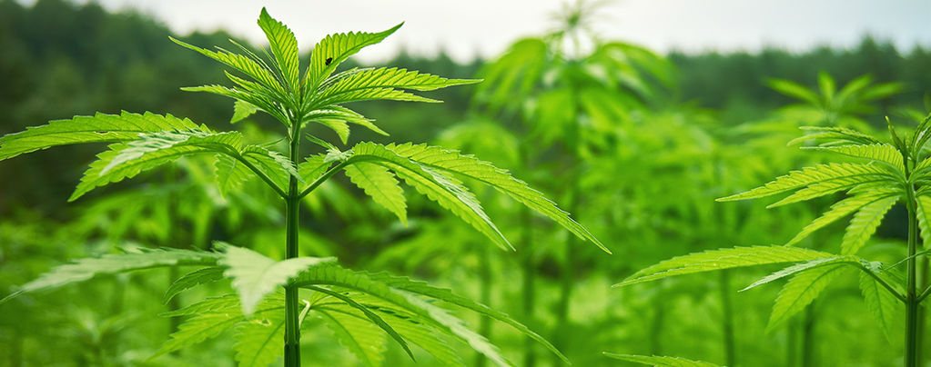 How To Have A Stress-Free And Successful Outdoor Stealth Grow