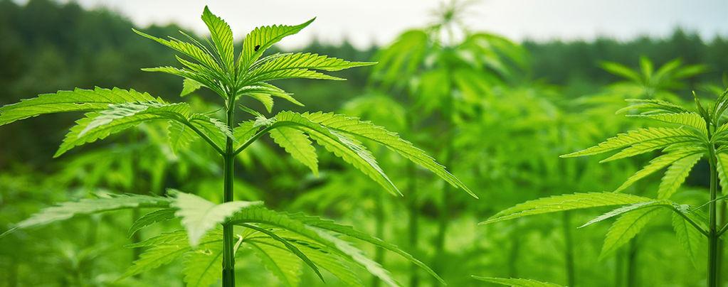 Outdoor Cannabis Growth