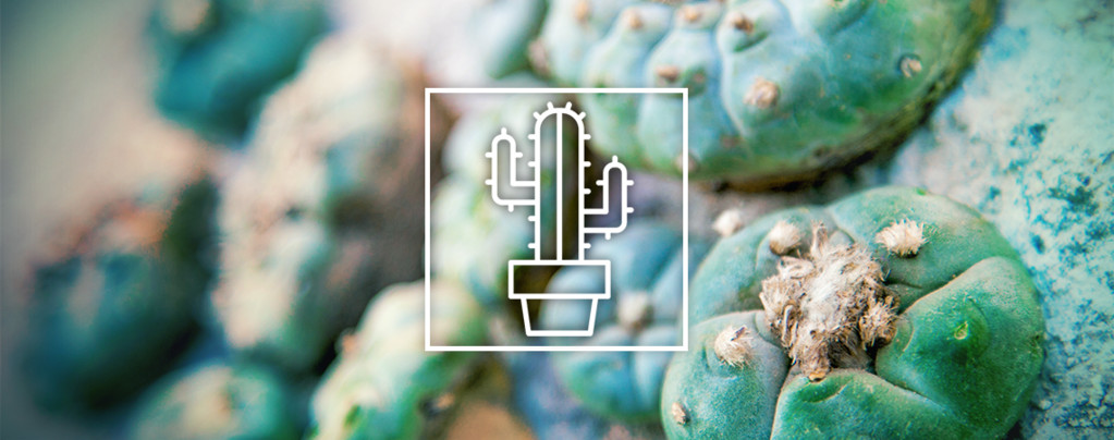 Cactus da Mescalina