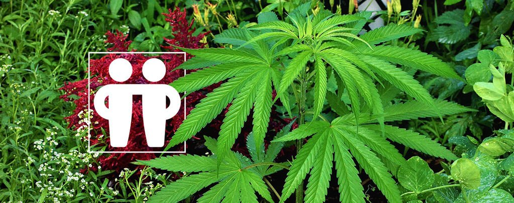 Help Your Cannabis Crop With Companion Plants