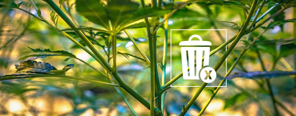Cannabis stems