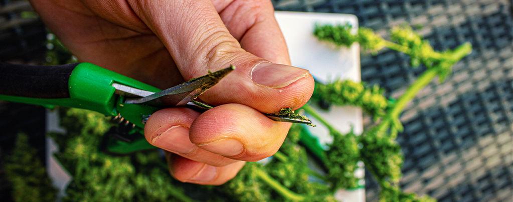 Clean Cannabis Trimming Scissors