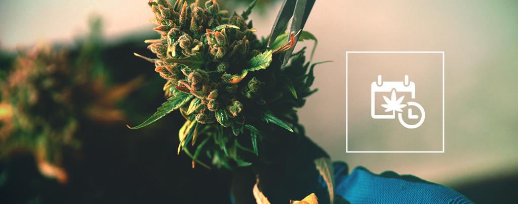 Ernten Cannabis
